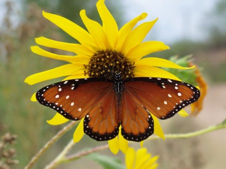 Butterfly Sitting on Yellow Sunflower