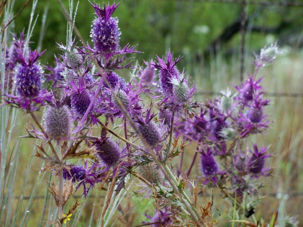 Large Clump of Purple Thistle Flowers