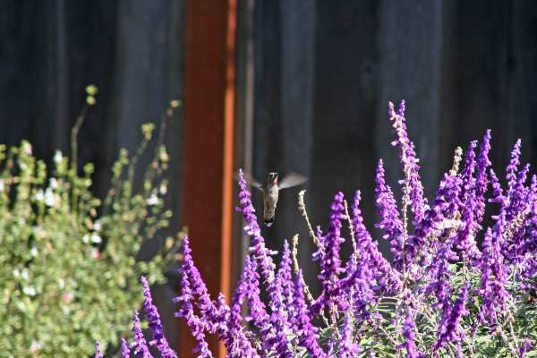 Hummingbird Above Lavender Flowers