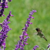 Hummingbird Feeding at Sage Flowers