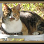 Callie the Calico Cat