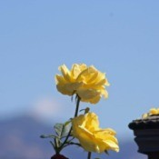 Yellow Rose with Blue Sky in Background