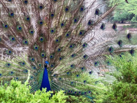 Peacock Displaying it's Feathers