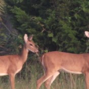 Deer in Weekiwachee Wildlife Preserve, FL