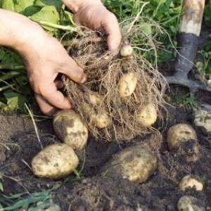 Harvesting Potatoes Thriftyfun
