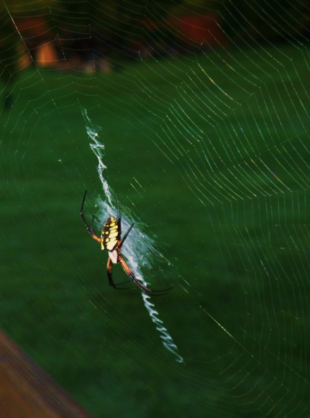 Large Banana Spider on Web