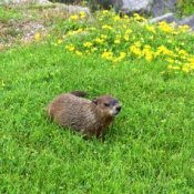 Groundhog in the grass.