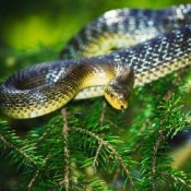 Snake coiled in an evergreen tree.