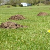 Photo of mounds from moles.