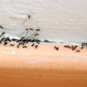 Ants on the wall of a house.