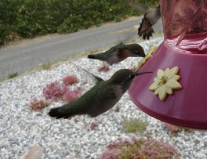 Closeup of Three Hummingbirds at a Feeder