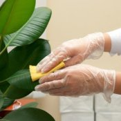 Cleaning Ficus leaves