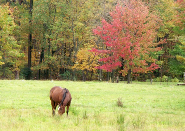 Horse Grazing with Fall Trees in Background