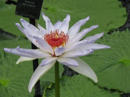 White Lily Bloom in Pond