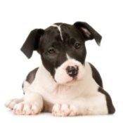 Black and white Pitbull puppy.