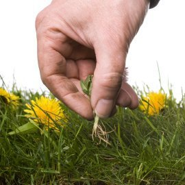 Hand picking weeds