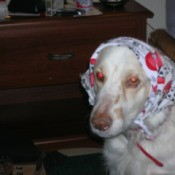Dog with scarf on her head.