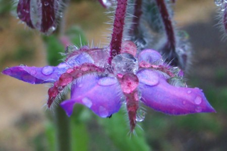 Purple Borage Flower