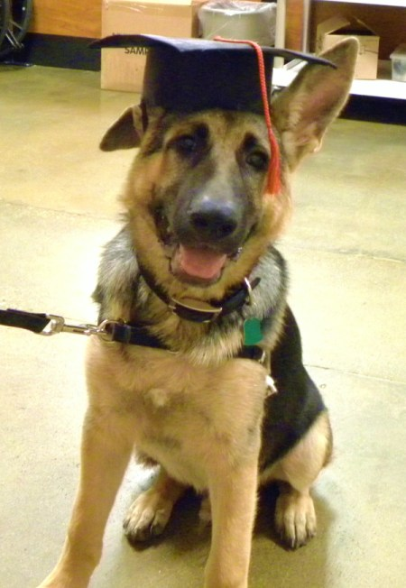 A German Shepard with a graduation cap after completing obedience school.