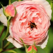 Pink rose with bumble bee.