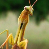 Closeup of Praying Mantis