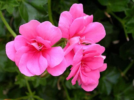 Closeup of Salmon Queen Geranium