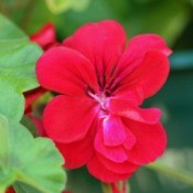Closeup of Double Red Ivy Geranium