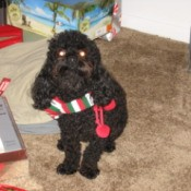Black poodle with Christmas striped scarf.