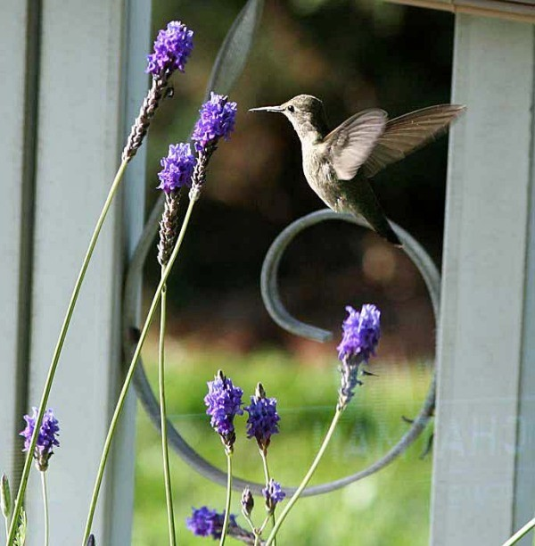 Hummingbird Feeding at Lavender