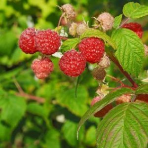 Raspberries hanging on the plant.