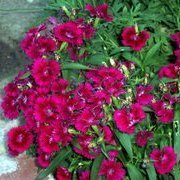 Dark pink and red sweet William.