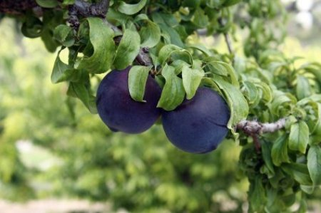 Two Ripe Plums on a Tree