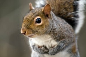 Closeup of Gray Squirrel