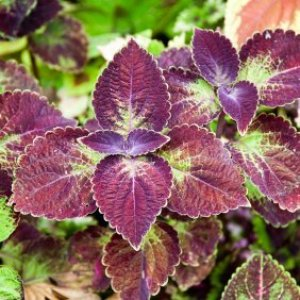 Purple and green coleus.