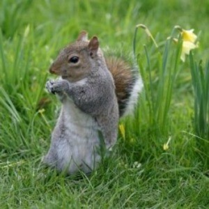 Squirrel eating a flower.