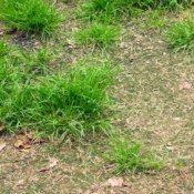 Patchy unhealthy lawn.