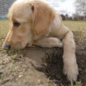 Photo of a puppy digging.