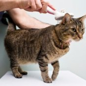 Grooming Your Cat, Tabby Cat Being Groomed