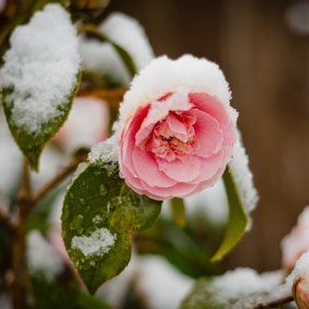 A rose bush in the snow.