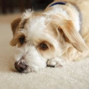 Sad looking puppy on carpet