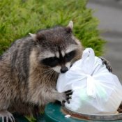 Keeping Animals Out of Your Garbage, Raccoon Scavenging Garbage