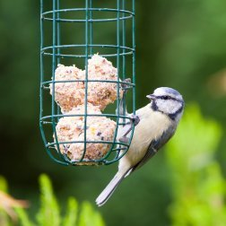A bird eating suet out of a feeder.