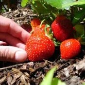 Hand Picking Ripe Strawberry