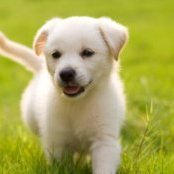 Yellow Lab puppy.