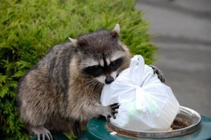 Raccoon looking for goodies in a waste bin