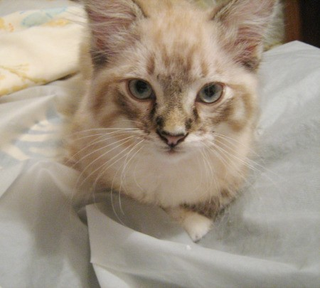 Nemo the Ragdoll Tabby Cat