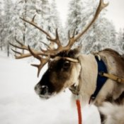 An up close photo of a reindeer.