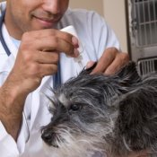 Vet treating dog's ear.