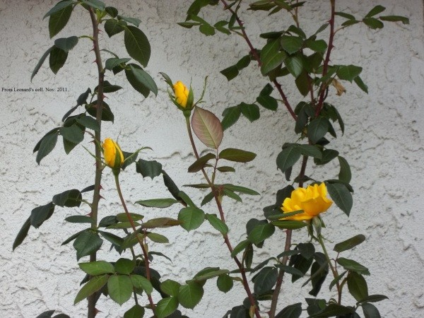 Yellow Roses by Garden Wall