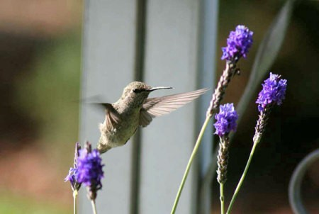 Young Hummingbird at Lavender